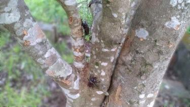 シマトネリコにカブトムシが!虫が集まるので危険も!!