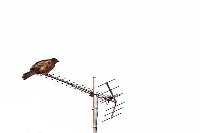 アンテナに鷹が